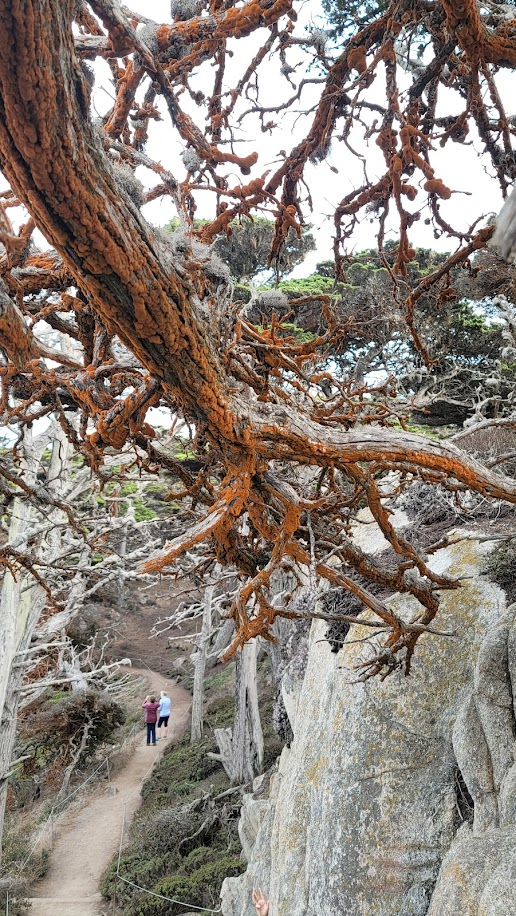 Red moss growing on trees at Point Lobos